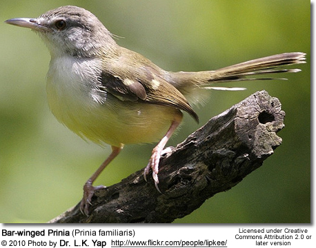 Bar-winged Prinia (Prinia familiaris)