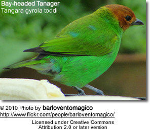 Bay-headed Tanager] (Tangara gyrola toddi)