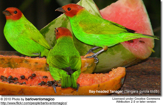 Bay-headed Tanager (Tangara gyrola toddi)