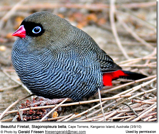 Beautiful Firetail, Stagonopleura bella, Cape Torrens, Kangaroo Island, Australia