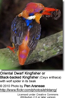 Oriental Dwarf Kingfisher or