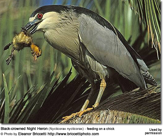 Black-crowned Night Heron (Nycticorax nycticorax) - feeding on a chick