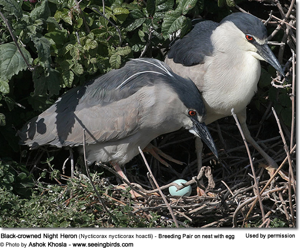 Black-crowned Night Heron (Nycticorax nycticorax hoactli) - Breeding Pair on nest with egg