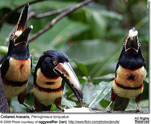 Black-spotted Barbets (Capito niger)
