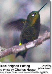 Derby's / Black-thighed Puffleg