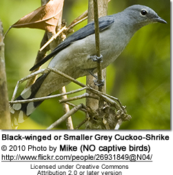 Black-winged or Smaller Grey Cuckoo-Shrike