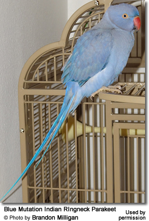 Blue Mutation Indian RIngneck Parakeet