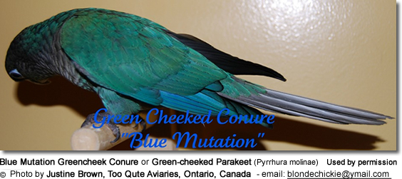 Blue Mutation Greencheek Conure or Green-cheeked Parakeet (Pyrrhura molinae)