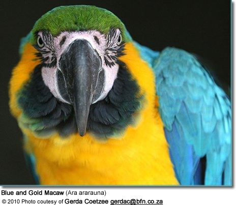 Blue and Gold Macaw (Ara ararauna)