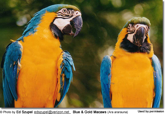Blue and Gold Macaws (Ara ararauna)