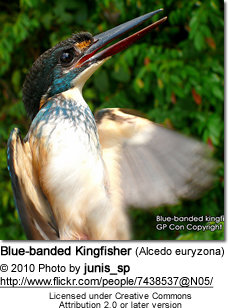 Blue-banded Kingfisher (Alcedo euryzona)