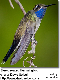 Blue-Throated Hummingbird, Lampornis clemenciae