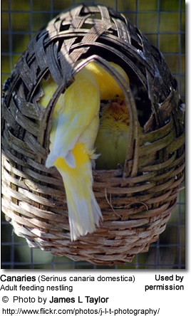 Breeding Canaries