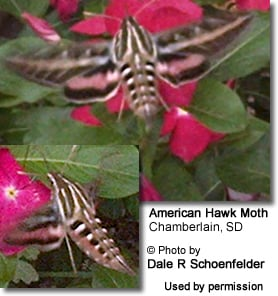 American Hawk or Hummingbird Moth