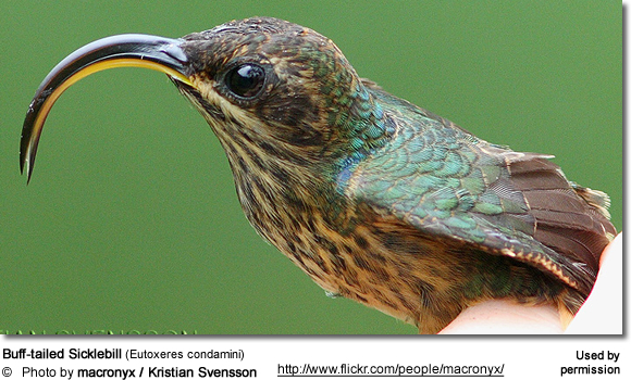 Buff-tailed Sicklebill (Eutoxeres condamini)