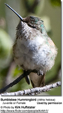 Female Bumblebee Hummingbird