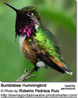 Bumble Bee Hummingbird
