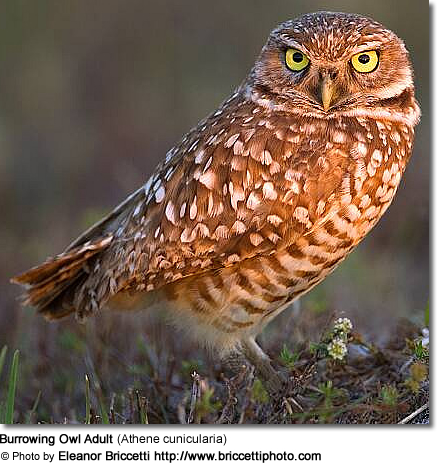 Burrowing Owl Adult (Athene cunicularia)