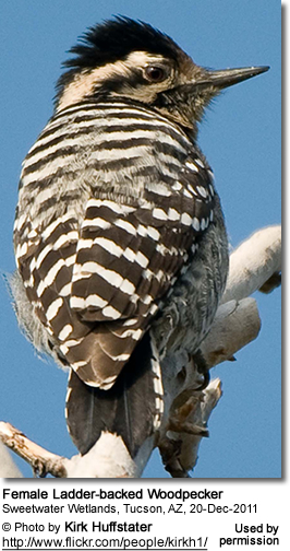 Female Ladder-backed Woodpecker