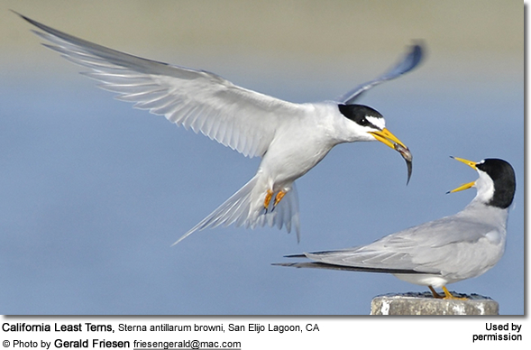 California Least Tern, Sterna antillarum browni, San Elijo Lagoon, CA