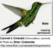 Canivet's Emeralds (Chlorostilbon canivetii) - also known as Fork-tailed Emeralds