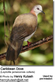 Caribbean Dove (Leptotila jamaicensis collaris)