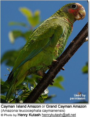 Cayman Island Amazon or Grand Cayman Amazon (Amazona leucocephala caymanensis)