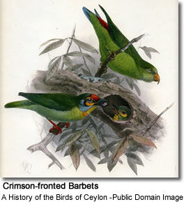Ceylon Small Barbet or Small Barbet (Megalaima rubricapillus)