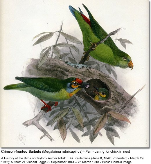 Crimson-fronted Barbets (Megalaima rubricapillus) - also known as Ceylon Small Barbets or Small Barbets