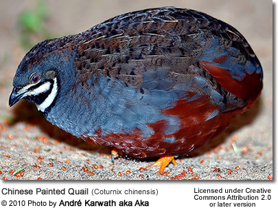 Chinese Painted Quail (Coturnix chinensis)