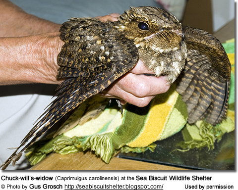 Chuck-will's-widow (Caprimulgus carolinensis) at the Sea Biscuit Wildlife Shelter