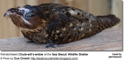 Rehabilitated Chuck-will's-widow at the Sea Biscuit Wildlife Shelter
