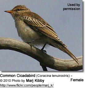 Female Common Cicadabird