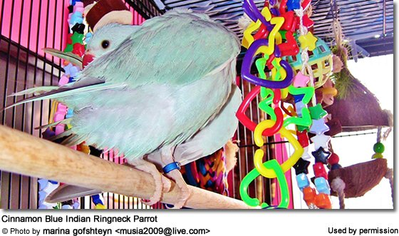 Cinnamon Blue Indian Ringneck Parrot