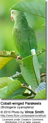 Cobalt-winged Parakeets (Brotogeris cyanoptera)