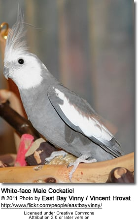 White-face Male Cockatiel