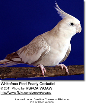 White-face Pied / Pearly Cockatiel
