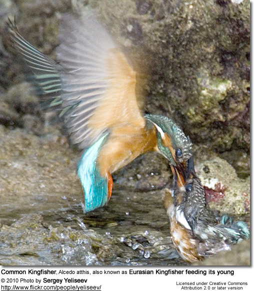 Common Kingfisher feeding its young