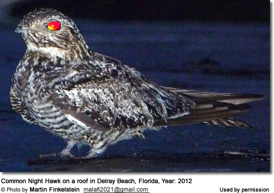 Common Night Hawk on a roof in Delray Beach, Florida, Year: 2012