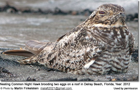 Nesting Common Night Nawk brooding two eggs on a roof in Delray Beach, Florida, Year: 2012