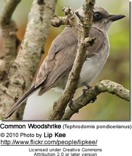 Common Woodshrike (Tephrodornis pondicerianus)
