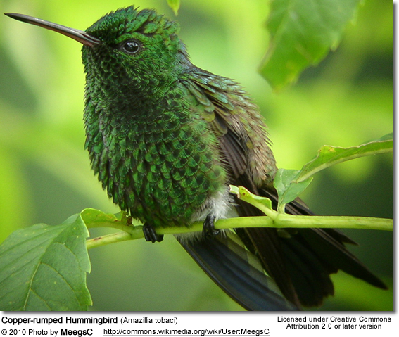 Copper-rumped Hummingbird (Amazillia tobaci)