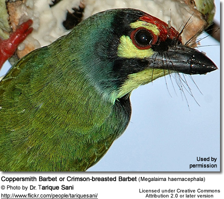 Coppersmith Barbet or Crimson-breasted Barbet (Megalaima haemacephala)