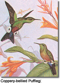 Coppery-bellied Puffleg (Eriocnemis cupreoventris) or Copper-vented Puffleg