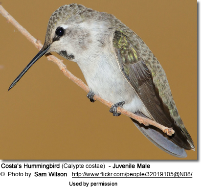Juvenile male Costas Hummingbird