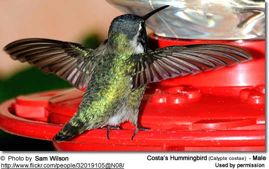 Costa's Hummingbird (Calypte costae) - Male