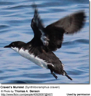 Craveri's Murrelet (Synthliboramphus craveri)