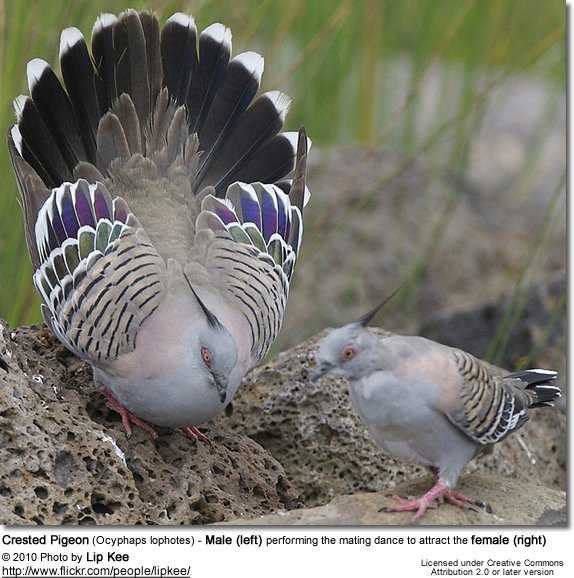Crested Pigeon Male performs the mating dance to attract female