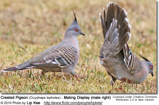 Crested Pigeon (Ocyphaps lophotes) - Mating Display (male right)