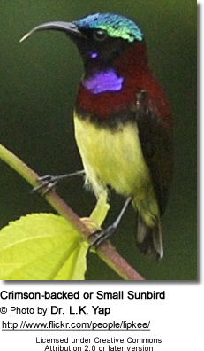 Crimson-backed Sunbird (Leptocoma minima or Cinnyris minima, formerly Nectarinia minima) - also commonly known as Small Sunbird